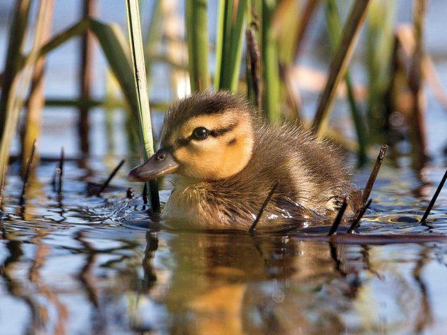 duckling-1000x0-c-default
